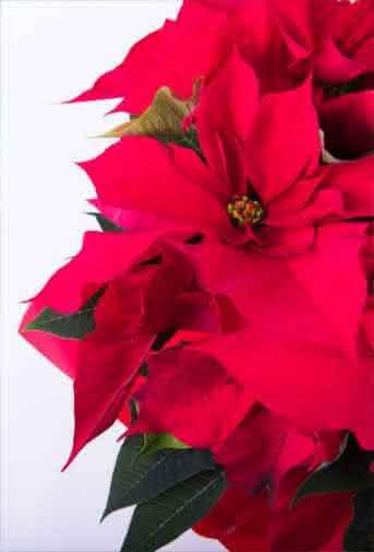 Blog Interflora - Flor de Pascua: la estrella de los centros de mesa navideños