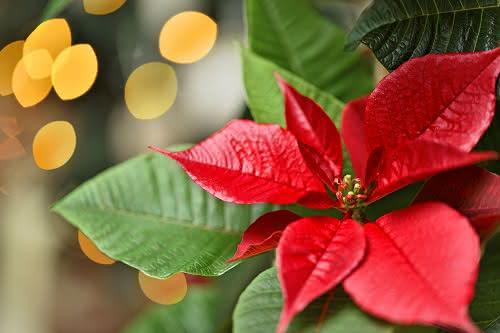 Consejos para disfrutar de tu flor de Pascua toda la Navidad