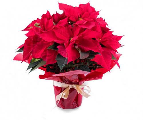 Después de Navidad, tu poinsettia maravillosa con estos cuidados