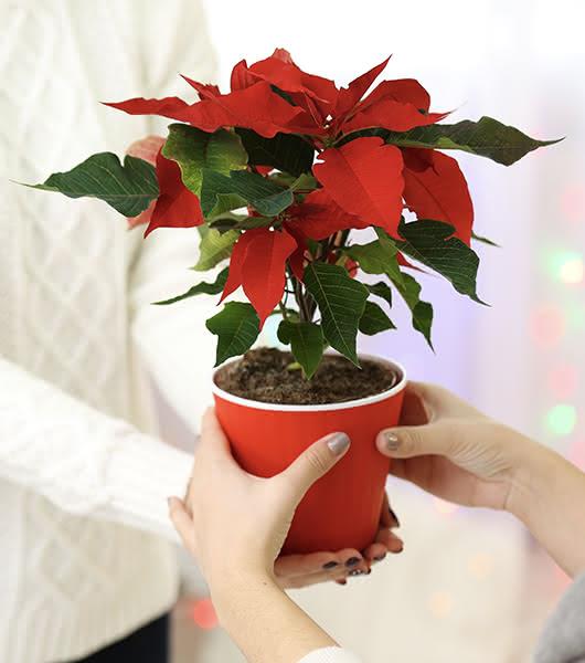 Poinsettias a domicilio como regalo de empresa