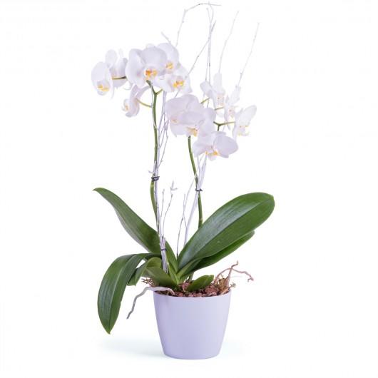 Oquídea Nassau, Orquídea Premium en color blanco para felicitar el día del Padre