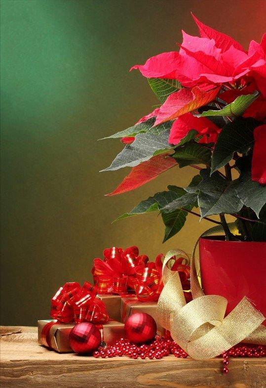 Regalar flores y plantas Navidad