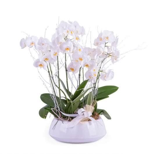 Centro de plantas de Phalaenopsis blancas