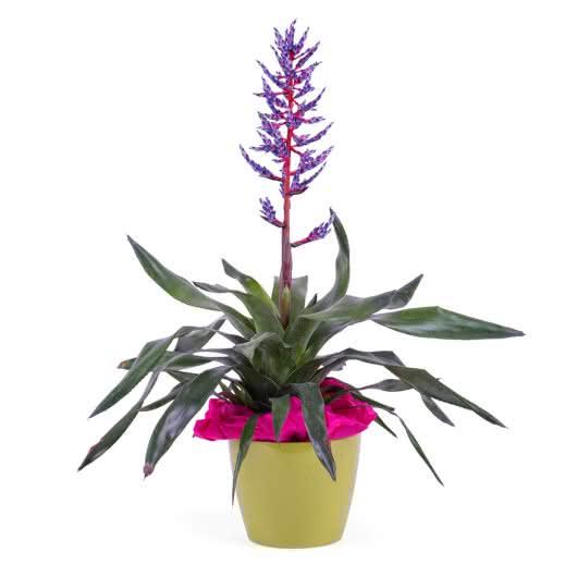 Planta de Viriesia (Bromelia)