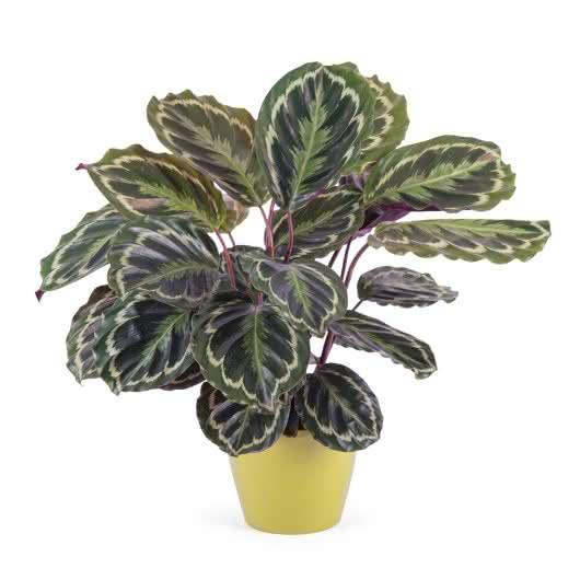 Magnifica planta de Calathea