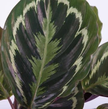 Planta Calathea