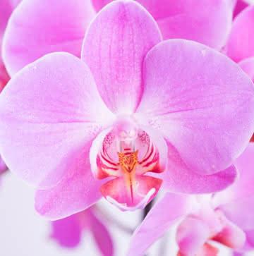 Orquídeas fucsia