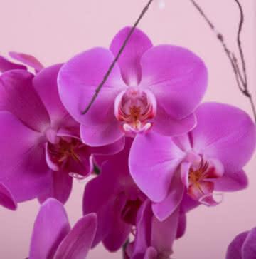 Enviar orquídeas violetas