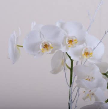 Enviar orquídeas blancas