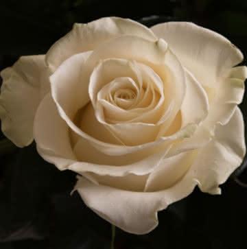 Enviar ramo de rosas