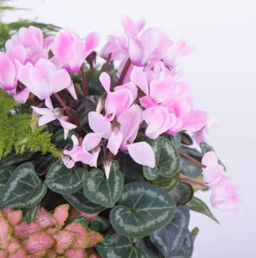 Enviar planta variada