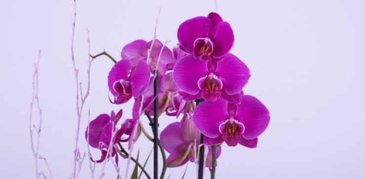 Cultivar tus orquídeas