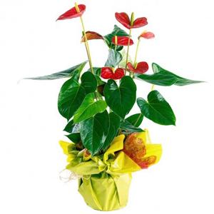 Planta Anthurium para el día de la madre