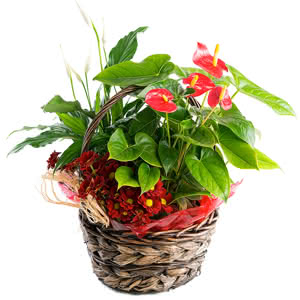 Bali - Centro de plantas con margaritas y anthurium