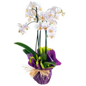 Tahiti - Orquidea de tres tallos